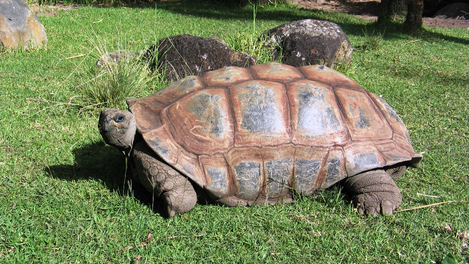 Giant-Tortoise-makes-population