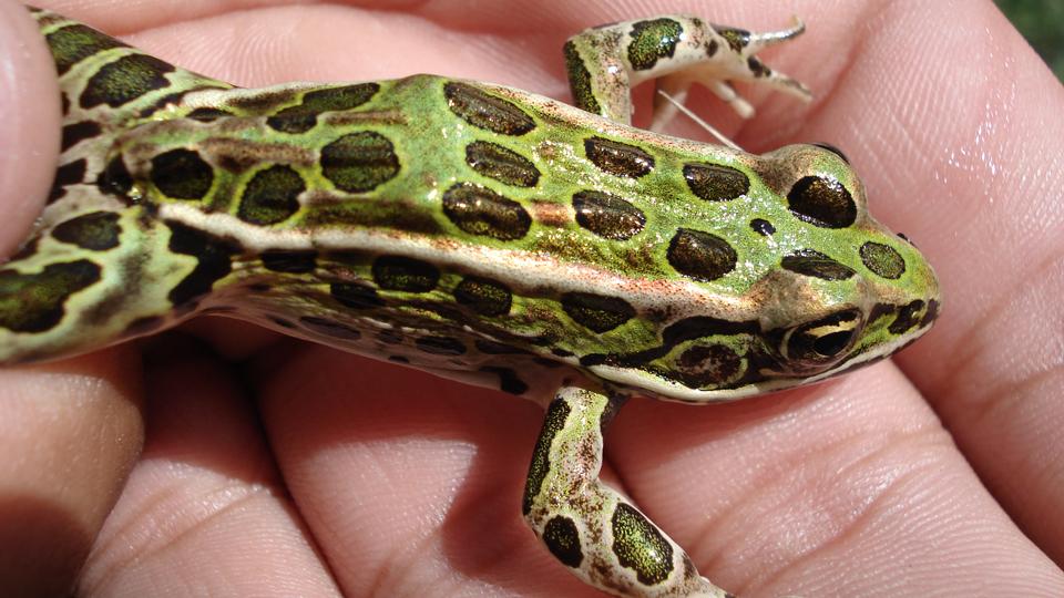 Rana-Kauffeldi-a-new-Leopard-Frog-found