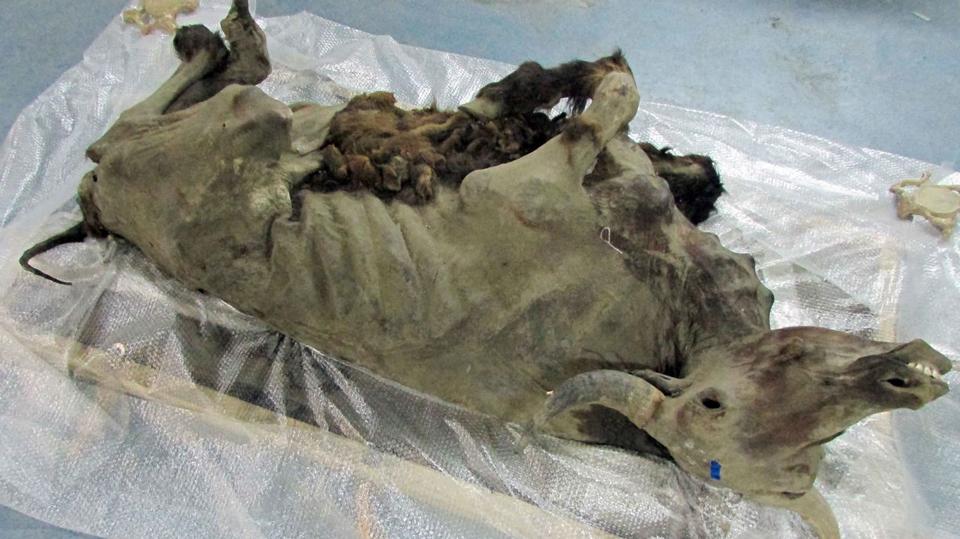 Bison-mummy-reveals-secrets