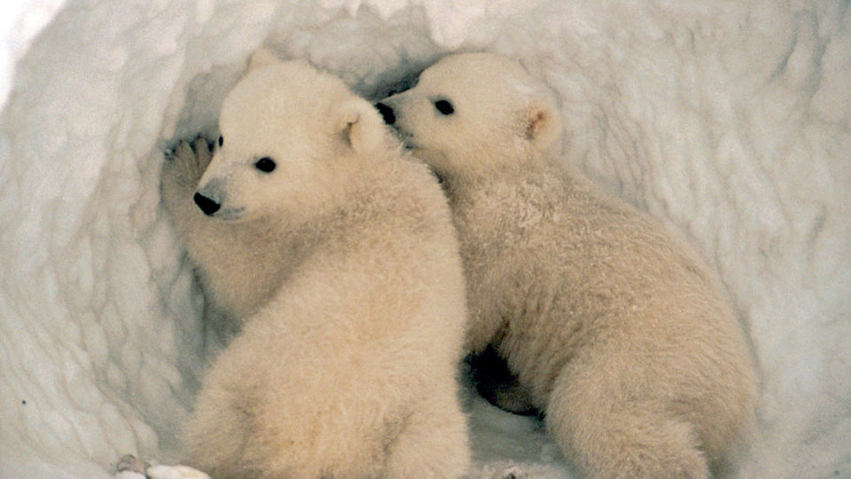 Polar-bears-face-starvation-and-reproductive-failure