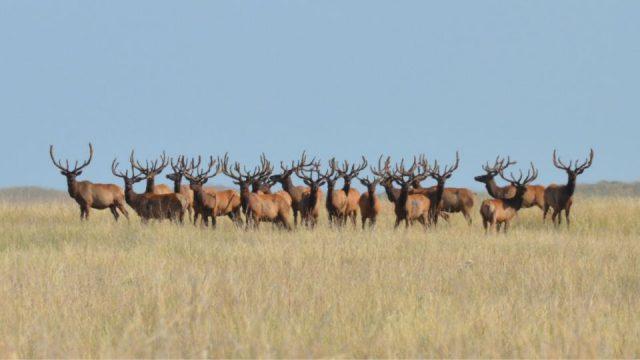Elk Herd Drown Near Pagosa Springs