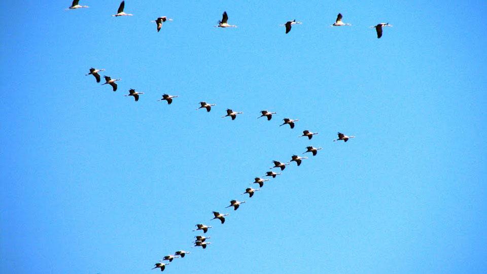 Birds-v-formation