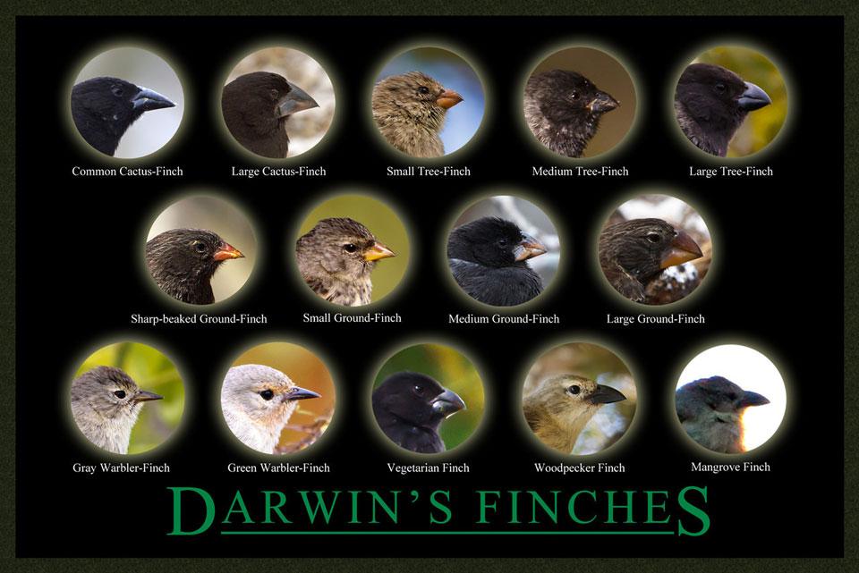 Darwin-Finches