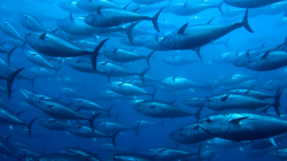 Mercury-Rising-in-Pacific-Tuna