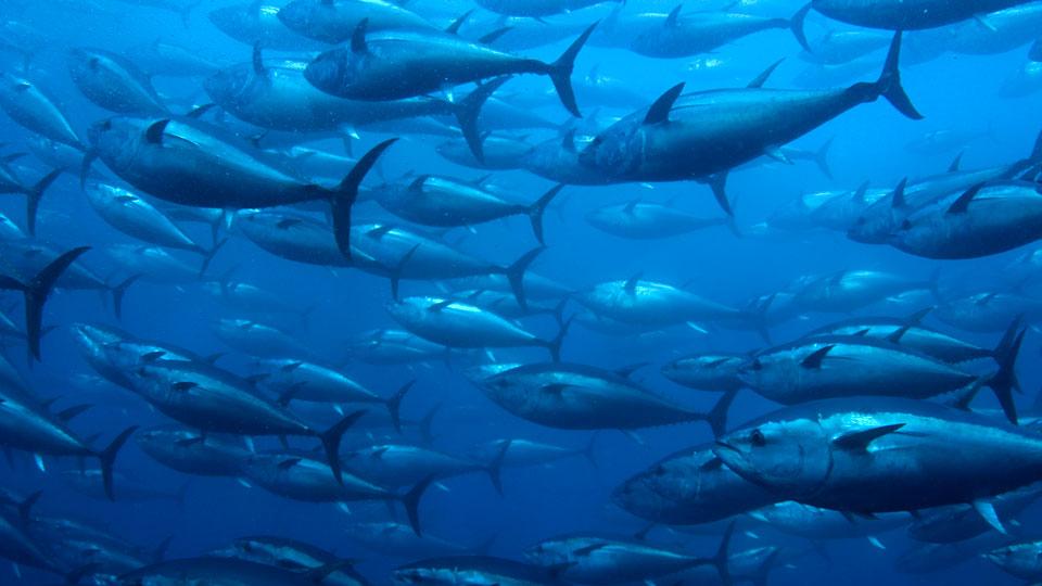 Mercury-Rising-in-Pacific-Tuna