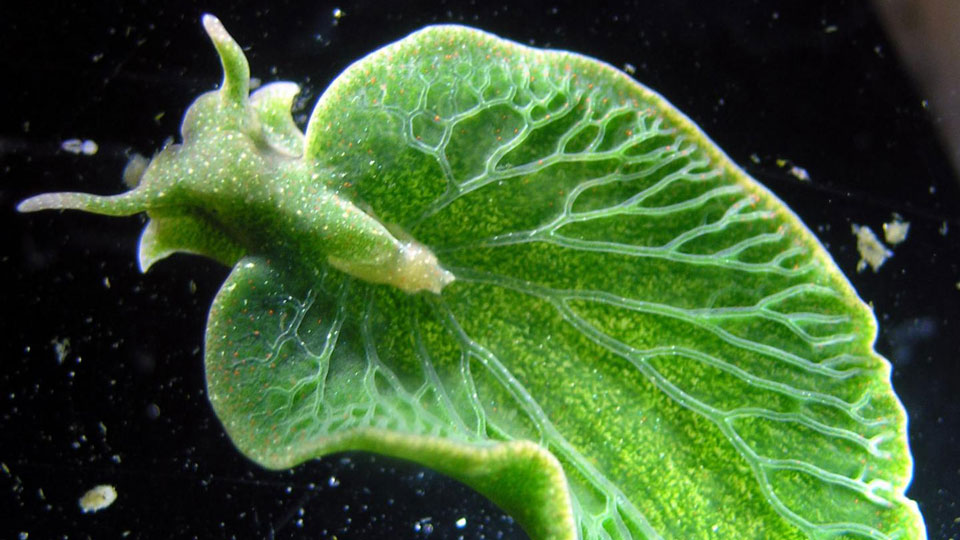Sea-slug-uses-plant-genes-to-live-life-like-a-leaf
