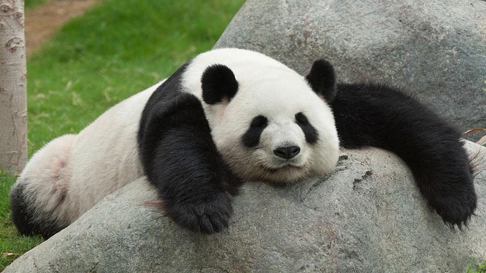 Secret-Life-of-Pandas