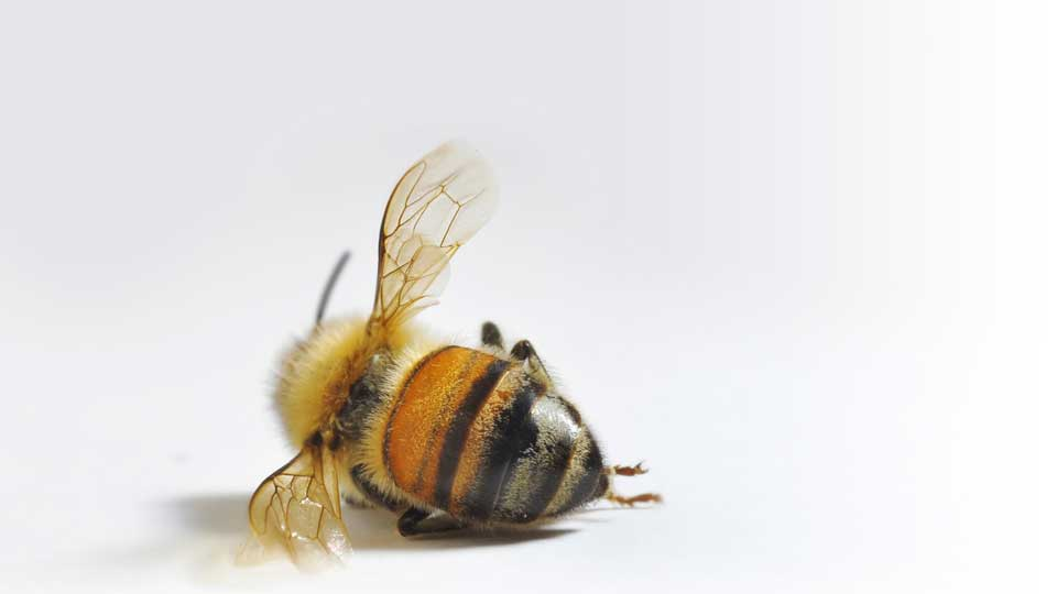Bee-pesticide-tobacco-effect
