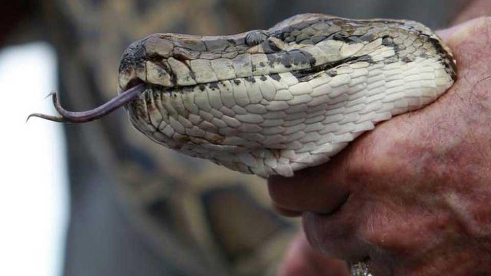 Burmese-Pythons-Florida