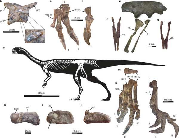 Chilesaurus-diegosuarezi-fossil