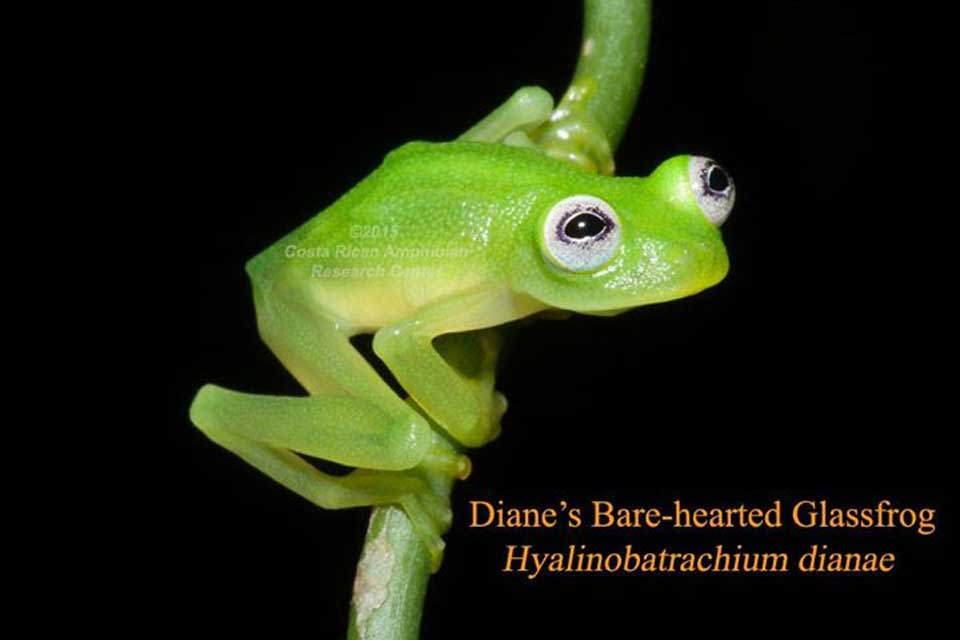 Costa-Rican-Glass-Frog