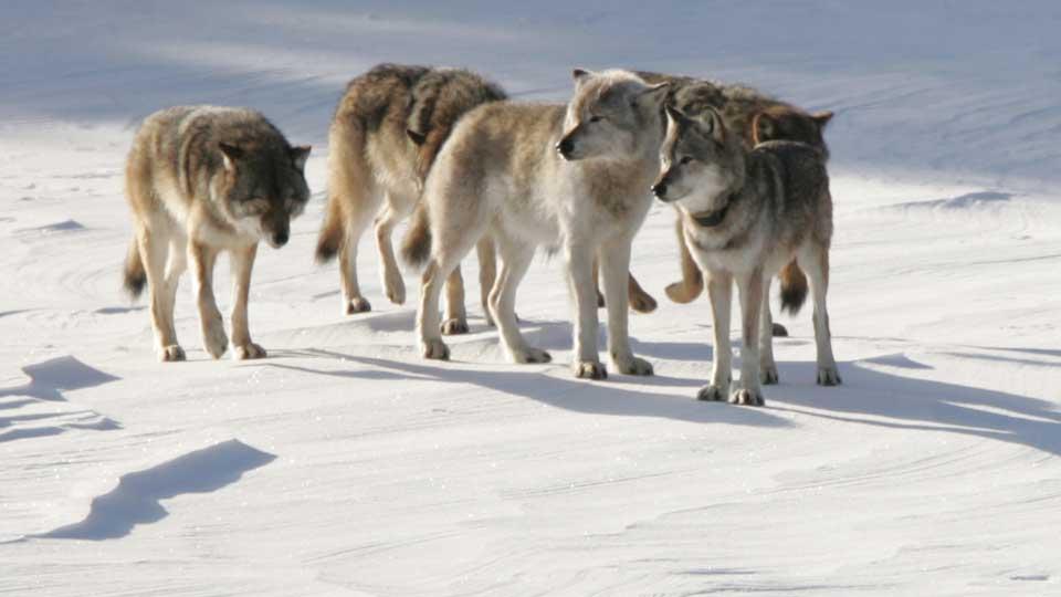 Isle-Royale-Wolf-Polulation