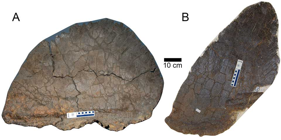 Male-Female-Stegosaurus-armors