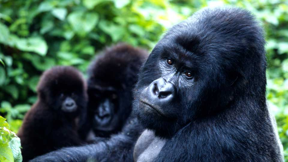 endangered-Mountain-Gorilla