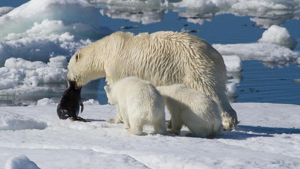 polar-bear-will-starve