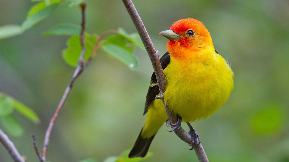 songsbird