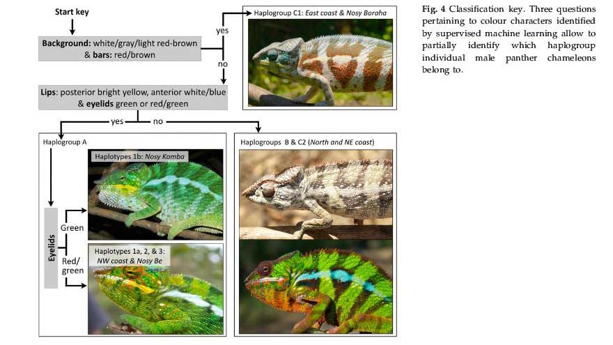 11-Chameleon-Species-classification-Madagascar