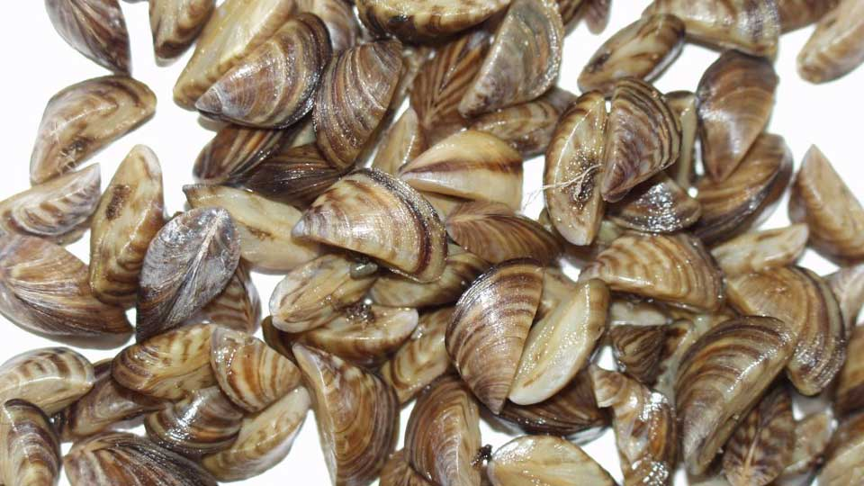 Christmas-Lake-Zebra-Mussels