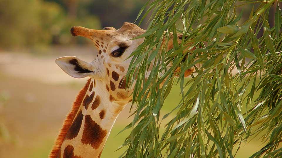 Giraffe-herbivores