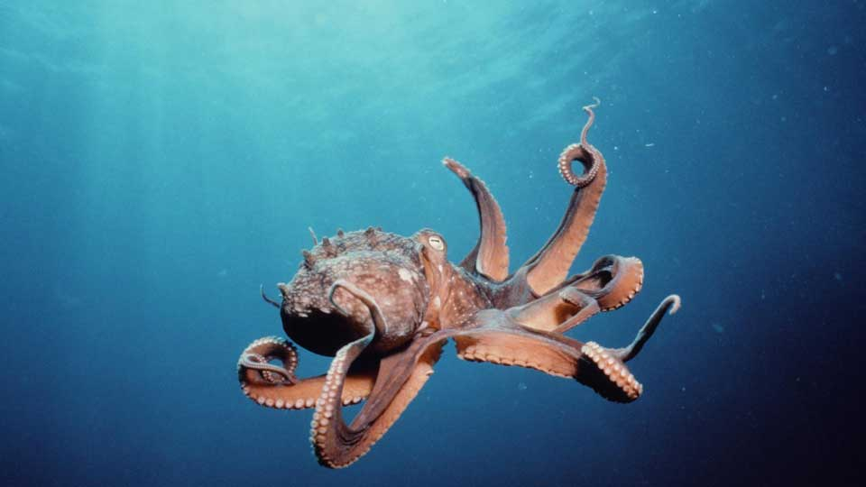 Octopuses-Sense-Light-with-Skin