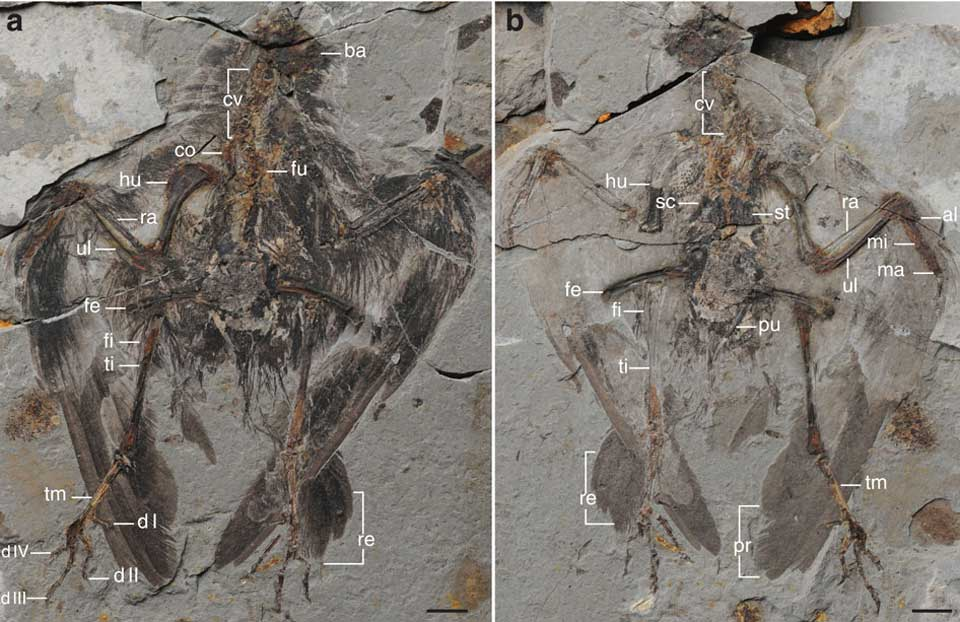 Oldest-Ancestor-of-Modern-Birds