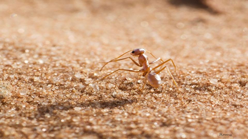 Saharan Ants