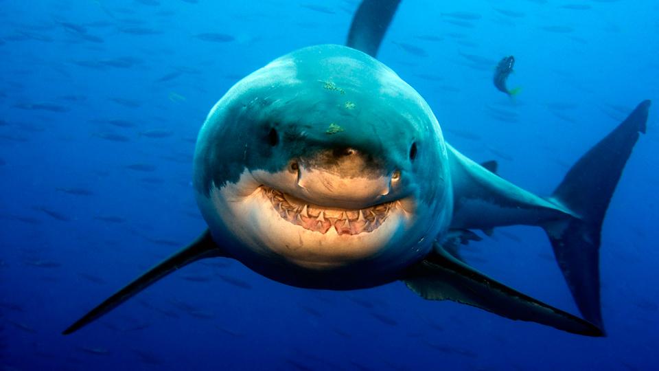 Massive Shark