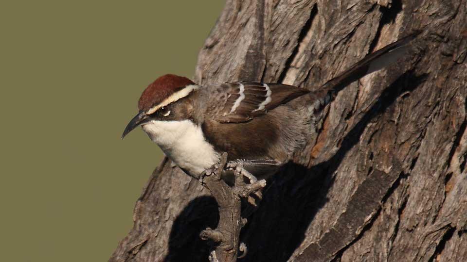 chestnut-crowned-babbler