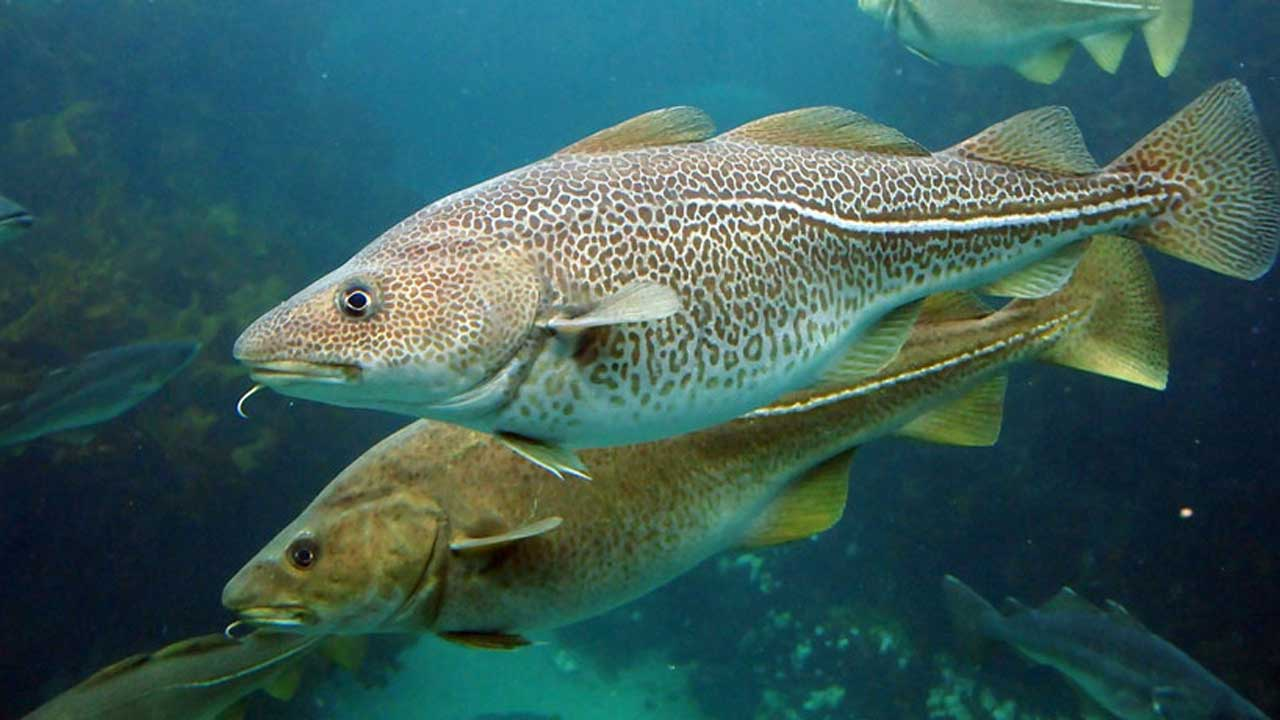 Water in us gulf of maine becoming too hot for cod for What is cod fish