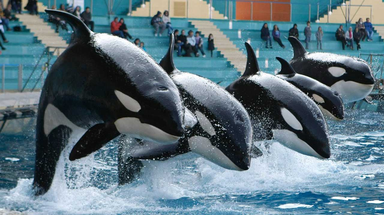 captive orcas killer whales Sacramento, calif (reuters) - (yesterday's story corrected to show in paragraph 6 that three marine mammals died within four months in late 2015 and early 2016 instead of three orcas died at seaworld's san antonio park within a six-month span in 2015) california will no longer allow the breeding.