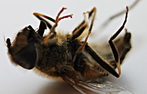 Mankind has a hand in spreading bee virus that's killing bees worldwide, says scientists