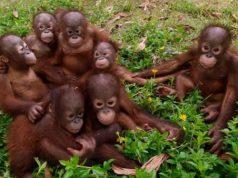 Orangutan Population