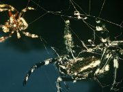 Spiders participate in Oral Sex 100 Times